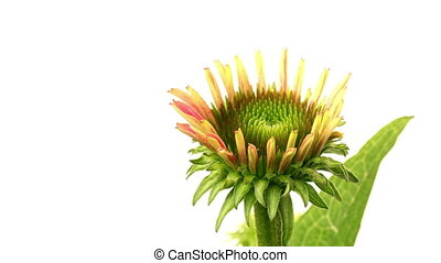 Echinacea Time-lapse - Time-lapse of Cone FlowerEchinacea...