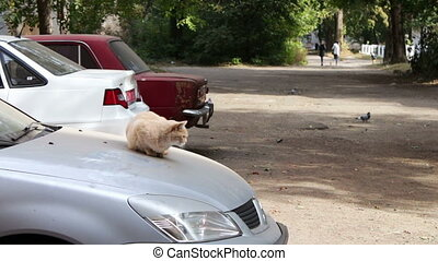 Red cat sitting on the car. - Red cat sitting on the hood of...