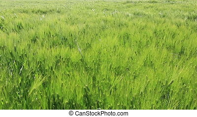 Waving green summer wheat field
