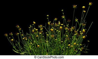 Yellow Coreopsis Flower Time-lapse - Time-lapse of yellow...