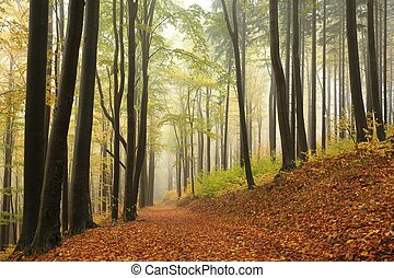 Autumn beech forest - Trail through autumn beech forest in...