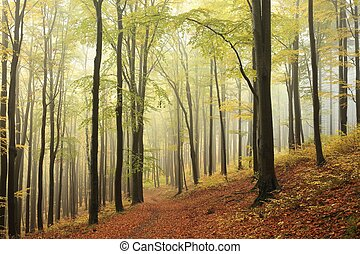 Beech forest in autumnal colors - Majestic beech forest in...