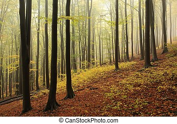 Autumn beech forest in foggy weather