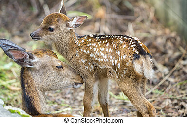 Fawn and mom deer in a forest - Detailed view of fawn and...