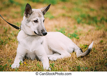 Single Beautiful young russian Laika puppy Dog sitting on...