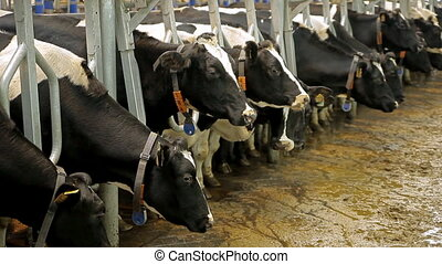Farm for breeding cows - Milking of cows. A lot of cows are...