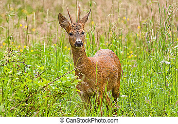 wild deer - wild eer in a meadow