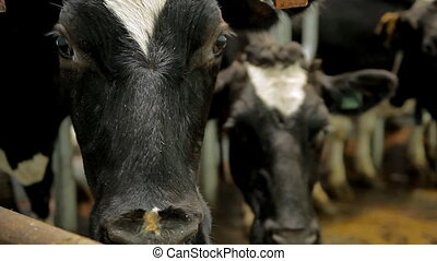 A cow on a farm - The cow is looking right into your soul. A...