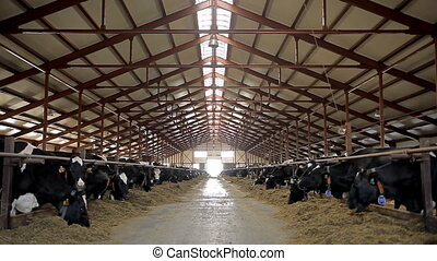 Farm for breeding cows - Cows are eating hay inside big barn