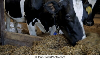 A cow is eating hay - Farm for breeding cows. A cow is...