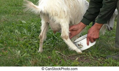 Milking goat by hand - Man milking white goat standing on...