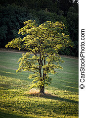 Lone tree on the meadow