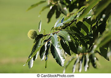 Single sweet chestnut (Castanea sativa) on a tree.