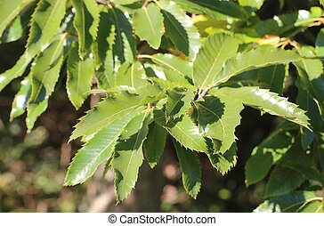 Several leaves of the sweet chestnut (Castanea sativa).