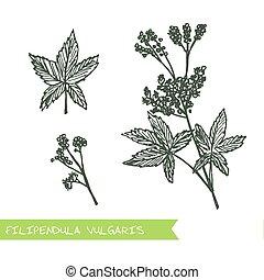 Handdrawn Illustration - Health and Nature Set - Filipendula...