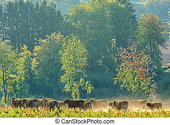 livestock - a herd of cows in motion by dust