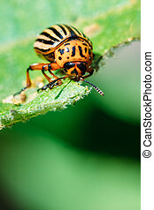 Colorado Potato Striped Beetle - Leptinotarsa Decemlineata Is A Serious Pest Of Potatoes