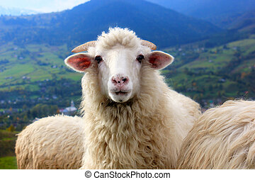 Sheep stares into the camera standing on mountain backdrop.