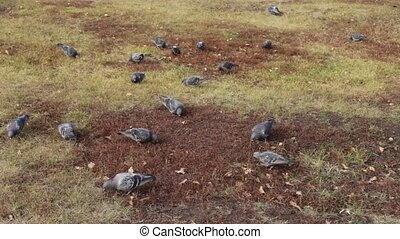 free bird on the lawn - pigeons walk on the lawn grass seeds...