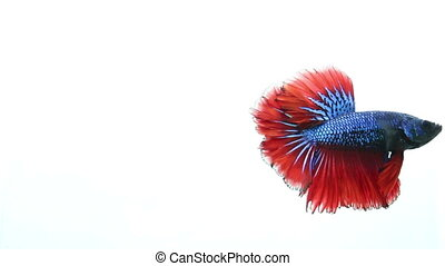 Fighting fish on isolated - Betta fighting fish swimming on...