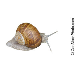 Grey Snail Isolated - Grey snail isolated on white...