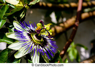 passion flower  - a blossom of a passion flower