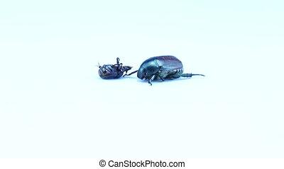 Beetle lying on its back background - Dung beetle lying on...