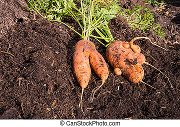 Abnormal carrot roots - Abnormal shape carrot root laying on...