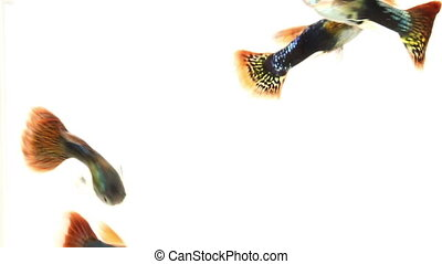 guppy fish swimming on white background