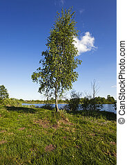 Birch on the river - birch growing on the river bank....