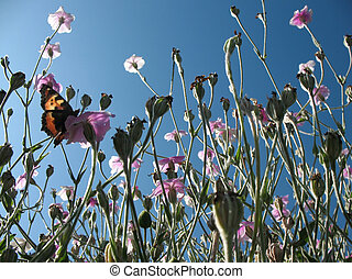 Blooming campion crown (Lychnis coronaria) against the blue...