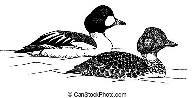 Common Goldeneye - Bucephala clangula - pair