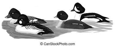 Common & Barrows Goldeneye - Bucephala clangula & B....