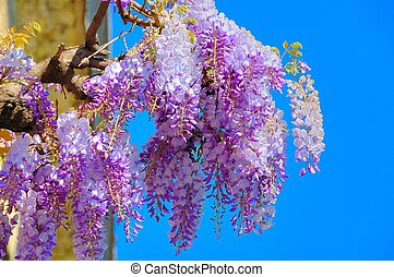 Wisteria blossoms against a bright blue summer sky.