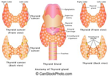 Thyroid gland. Anatomy of Thyroid gland. Detailed diagram of...