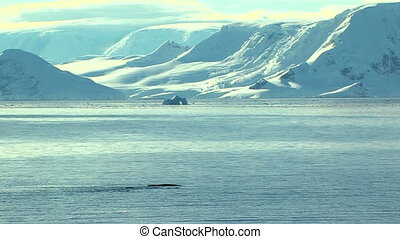 whales in the cold antarctic ocean