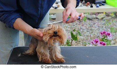 Grooming of the Yorkshire terrier - View of the head of...