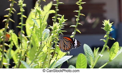 butterfly eating flower nectar - butterfly eating plant and...