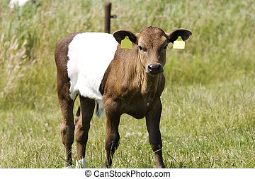 Calf lakenvelder - beautiful young Lakenvelder calf....