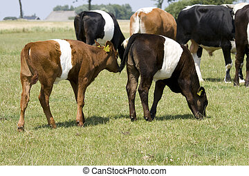 Lakenvelder calves in meadow - beautiful Lakenvelder calves...