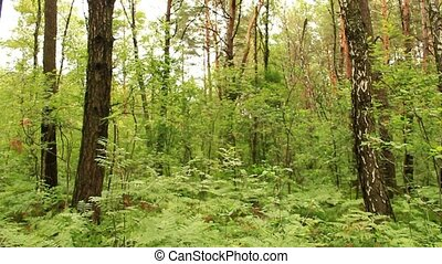 green forest with trees and fern - summer landscape with...