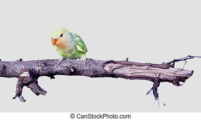 lovebird are just flying from branch