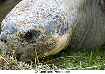 Close up of giant Galapagos turtle - Close up of face of...