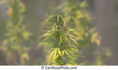 Homegrown Marijuana Plant - Closing into focus on mariuana...