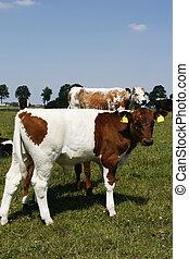 Lakenvelder calf - beautiful brown and white lakenvelder...