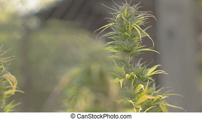Homegrown Marijuana Plant - Refocusing between two marijuana...