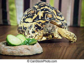 Leopard tortoise close up - Beautiful Leopard tortoise...