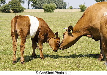 Mother and child calf - mother and child cow caressing with...