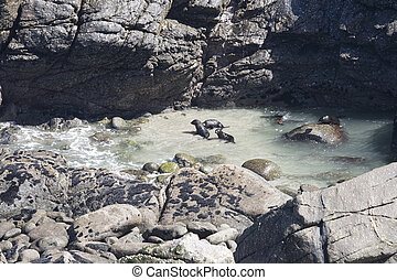 New Zealand fur seal puppies playing and swimming - Group of...