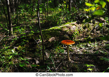 Fly agaric in the forest close up.